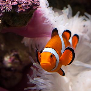wallpaper clarkii clownfish - photo #17