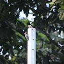 Hoffmann's Woodpeckers