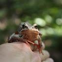 Common frog - skokan hnědý