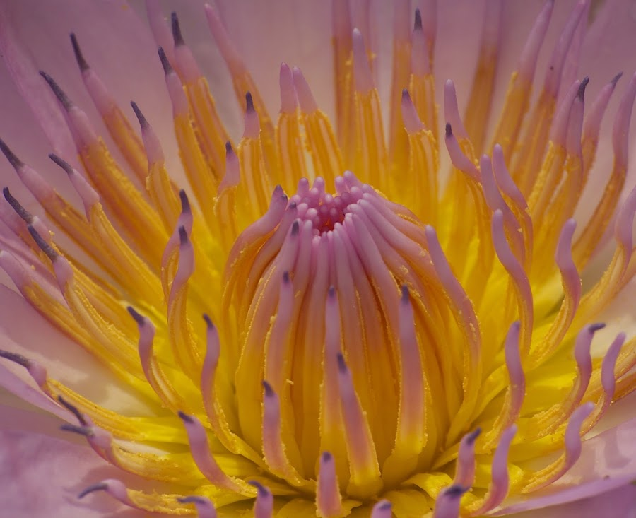 Wild Lily flaming color by Sudesh Salian - Flowers Single Flower ( close-up waterlily, buds, flower, close-up,  )