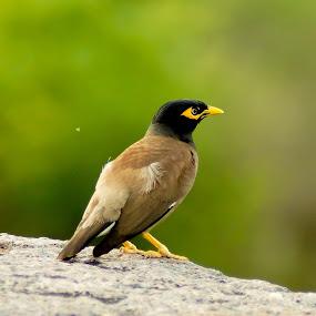 Common Myna by Faizan Hussain - Animals Birds ( adventure, nature, wildlife, birds, colours )