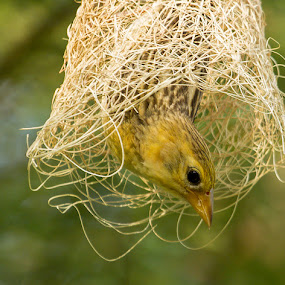 by Mukesh Chand Garg - Animals Birds (  )