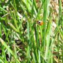 Thirteen-spotted Lady Beetle