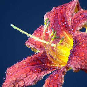 A Red Daylily by Steve Edwards - Flowers Single Flower ( water drops, single flower, daylily, flowers, flower,  )