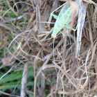 Snowy Tree Cricket