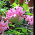 Pinkster Azalea