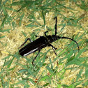 Palo Verde borer beetle