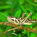 Migratory Bird Locust