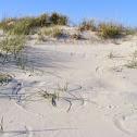 dune grass circles