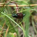 Garden Foliage Beetle - Listokaz zahradní