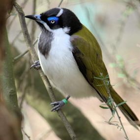 Blue Faced Honeyeater by Sue Bensted - Animals Birds ( colour, bird, nature, fauna, australian, blue )