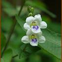 Chinese Violet, Creeping Foxglove, Ganges Primrose