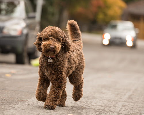 Doodle Lane by Adam Collins - Animals - Dogs Running ( australian labradoodle, trotting, labradoodle, dog, chocolate labradoodle )