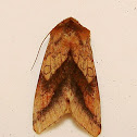 Purple-Lined Sallow
