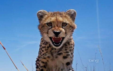 cheetah HD Wallpaper screenshot 7