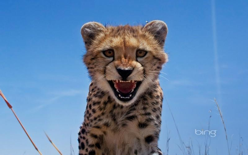 Cheetah Hd Wallpaper Android Apps On Google Play