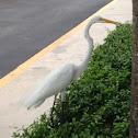American great egret