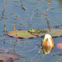 Bastaardkikker, Edible frog