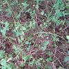 Thorn Vines