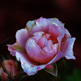 Tea Rose by Alan Hammond - Flowers Single Flower ( single flower, flowers,  )