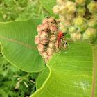 Red Milkweed Beetle