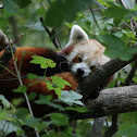 Red Panda (2)