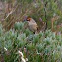 Grassbird