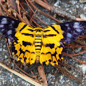 False Tiger Moth