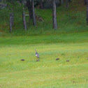 Family of Wild Turkeys