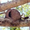 Nest. Hornero, Rufous Hornero