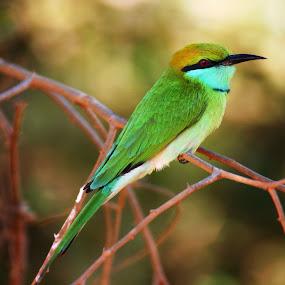 Grüner Bienenfresser auf Sri Lanka by Konstanze Singenberger - Animals Birds
