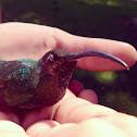 humming bird, colibrí