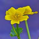 Marsh marigold - Hófsóley
