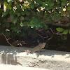 Oriental Garden Lizard ♀