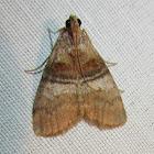 Sycamore Webworm Moth