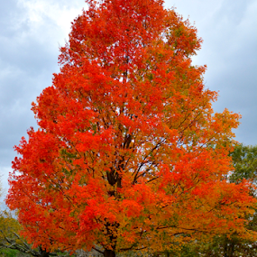 by Carlo Resty Sunga - Nature Up Close Trees & Bushes ( fall, color, colorful, nature,  )