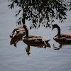 Mute Swan (goslings)