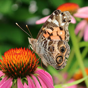 FlutterBy by Kenny Fendler - Animals Insects & Spiders (  )