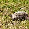 Angulate tortoise (light phase)