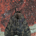 Darling Underwing