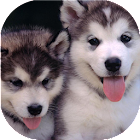 Puppies dogs live wallpaper icon