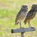 Florida Burrowing Owl
