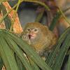 pygmy marmoset / dwarf monkey