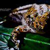 The Cricket Frog