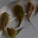 Longtail Tadpole Shrimp