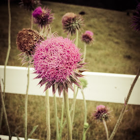Purple Thistle by Lori White - Flowers Flowers in the Wild ( thistle, purple, wildflower, white fence, flower, country )