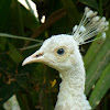 White Peahen and chick