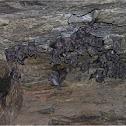California big eared bat