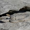 Rock Rattlesnake