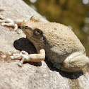 California Tree Frog